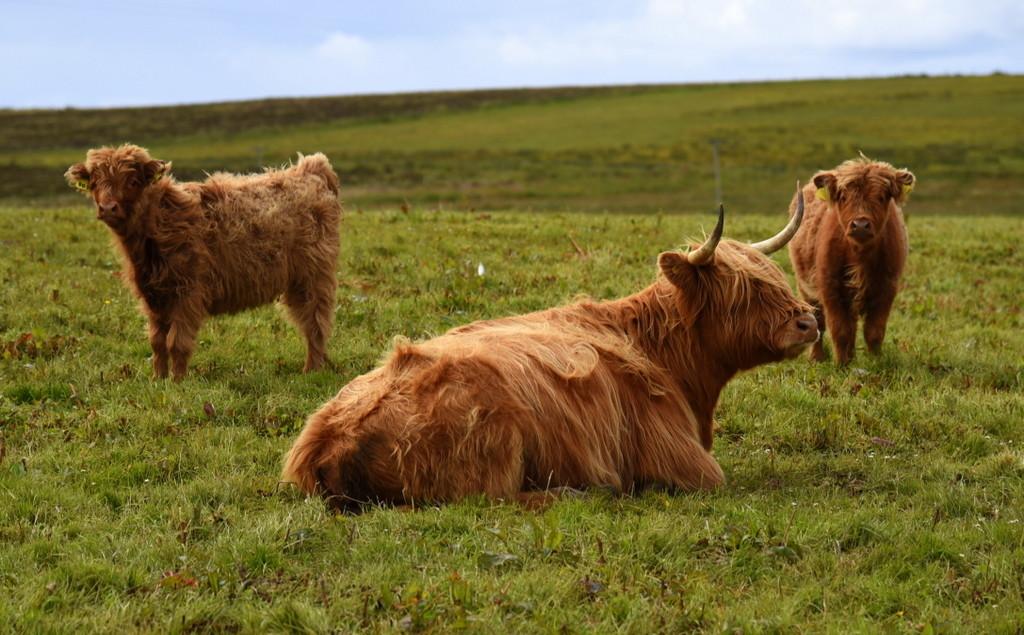 Cameron-Scotland-Highlands-Hairy Coo 3