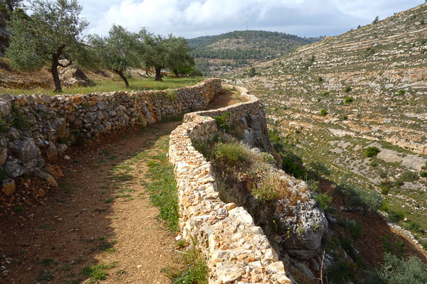 "Across the wall in Palestine, I hiked ""Biblical Terraces"" through an ancient olive grove and joined a local family for the harvest. At the end of the day, I watched the golden olive oil spill into their buckets at the village press."