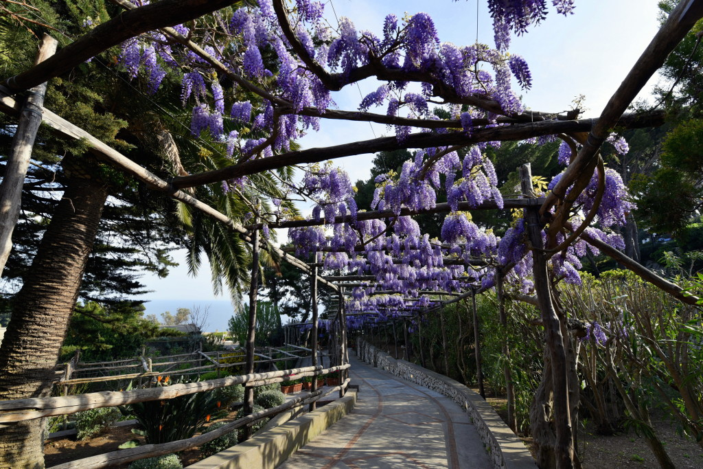 The wisteria is out, and nobody knows how to make the most of it like Amalfi Coast gardeners. This is on the Isle of Capri.
