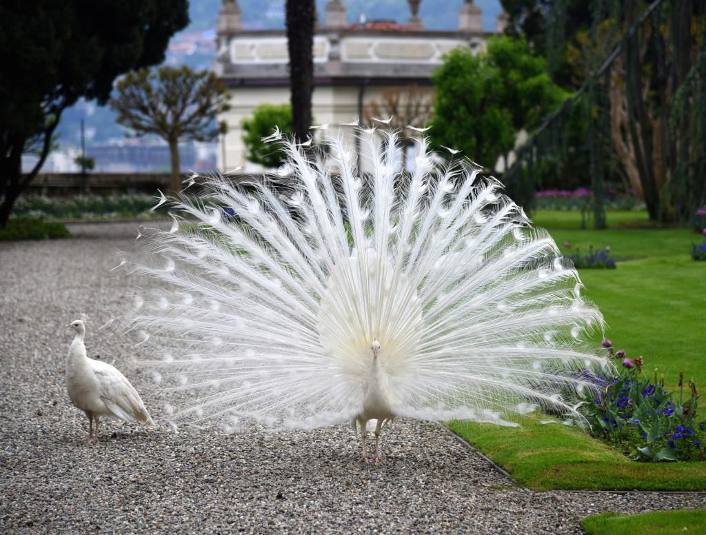 Maggiore Peacocks