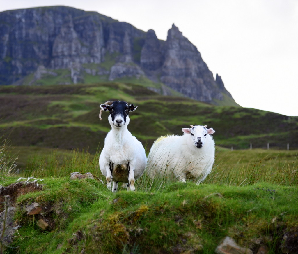 Cameron Scotland Skye Sheep